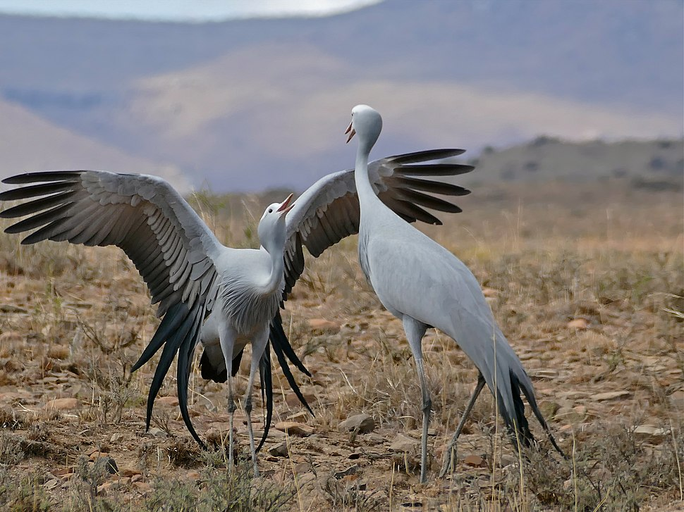 Blue Cranes (Anthropoides paradiseus) couple parading ... (32457893122)