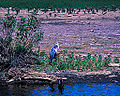Blue Heron at Blackwater Refuge (11859156164).jpg