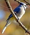 Blue Jay (181443633).jpeg