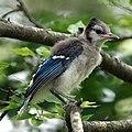 Blue Jay (5922105885).jpg