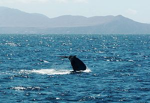 Image of a Blue Whale's tail fluke with the Santa Barbara Channel Islands in the background. August 2007.