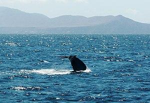 San Lorenzo Marine Archipelago National Park - Blue whale