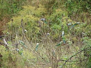 Bhadra Wildlife Sanctuary - Image: Blue winged Parakeet roost, Bhadra Wildlife Sanctuary,Karnataka