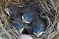 Bluebird trail at Sky Meadows State Park (14397202203).jpg
