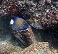 Bluering Angelfish.jpg