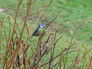 English: Bluetit One of the many species of wi...