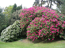 Bois-des-moutiers-rhododendron00.jpg