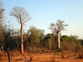 Adansonia za - Image: Bombacaceae Adansonia za