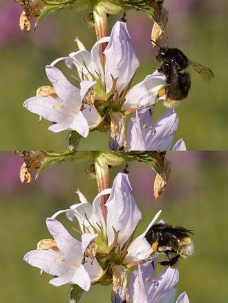 Campanula glomerata - Pollination