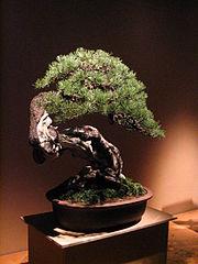 Bonsai IMG 6400.jpg