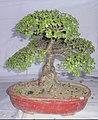Bonsai of Elephant Bush 04.jpg