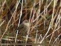 Booted Warbler (Iduna caligata) (24961831421).jpg