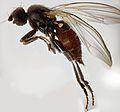 Borborillus uncinatus (female) (15273344153).jpg