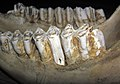 Bos sp. (cow) mandible 7 (33781729858).jpg