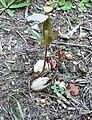 Brabejum stellatifolium - seed germinating.JPG
