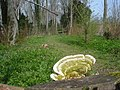 Bracket fungus near the Hereford and Gloucester canal - geograph.org.uk - 771379.jpg