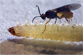 Braconinae subfamily of insects