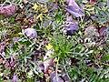 Brassica repanda subsp. blancoana 2010-1-16 DehesaBoyaldePuertollano.jpg
