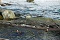 Braving a swim (6443853853).jpg