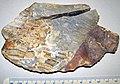 Brecciated flint (Vanport Flint, Middle Pennsylvanian; Nethers Flint Quarries, Flint Ridge, Ohio, USA) 2 (32329501814).jpg