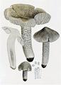 Bresadola - Tricholoma murinaceum.png