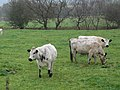 British White cattle - geograph.org.uk - 598918.jpg