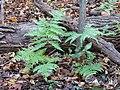 Broad Beech Fern (30927201125).jpg