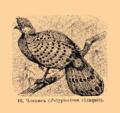 Brockhaus and Efron Encyclopedic Dictionary b33 074-0- 16 - Polyplectron chinquis.png