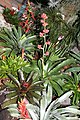 Bromeliaceae mixed collection.jpg