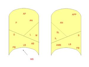 Bronchopulmonary segment - Image: Bronchopulmonary segments