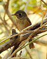 Brown-breasted Flycatcher Muscicapa muttui DSCN5439 (4).jpg
