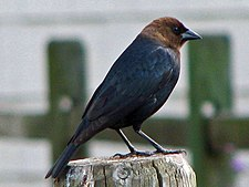 Brown-headed Cowbird male RWD.jpg