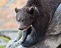 Brown Bear Image 2.jpg