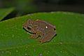 Brown Bush Frog (Philautus petersi)4.jpg