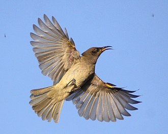 Hawking (birds) - Brown honeyeater, one of a group hawking from a Casuarina