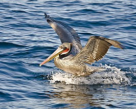 Brown Pelican, Pelagic Boat Trip.jpg