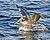 Brown Pelican, Pelagic Boat Trip.jpg