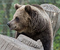Brown bear at Skansen (15181590522).jpg