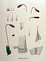 Bryum murale — Flora Batava — Volume v16.jpg
