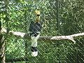 Buceros bicornis in Burgers' Zoo (Park) (1).JPG