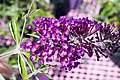 Buddleja davidii Royal Red 1zz.jpg