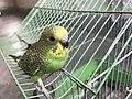 Budgerigar Bird 01.jpg