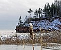 Bulrush at Holland Cove - panoramio.jpg