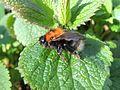Bumblebee queen (Bombus hypnorum), Sandy, Bedfordshire (8652287227).jpg