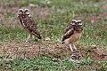Burrowing Owl (Athene cunicularia) (8077647389).jpg
