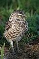 Burrowing Owl 4216.jpg