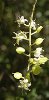 Bursaria spinosa flowers