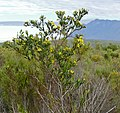 Bush Tickberry (Chrysanthemoides monilifera) (32821989875).jpg