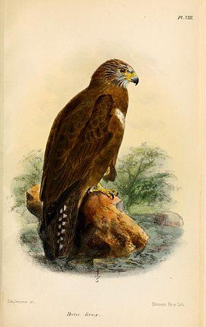 Long-legged buzzard - Illustration by Keulemans, 1874