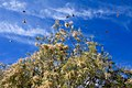 Butterflies Flying Over A Tamarisk Tree (194538953).jpeg